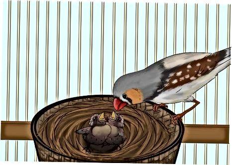 Pflege der Finken und Küken