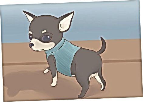 Kritt Är Chihuahua