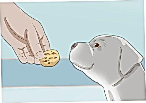 Training Äre Pitbull Puppy