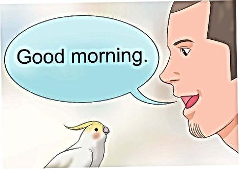 Enseñando a tu Cockatiel a repetir palabras