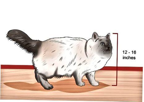 Birmano katės atpažinimas