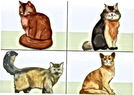 Identificación de las características físicas de un gato somalí