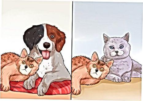 Reconociendo el comportamiento del gato somalí