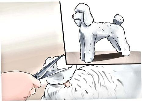 Oříznutí tělové srsti pudla