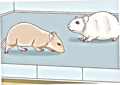 Päätettiin pitää rotat