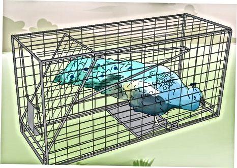 Attraper un paon dans une cage