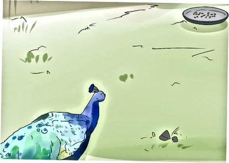 Menangkap Merak dengan Jaring Ikan atau Selimut
