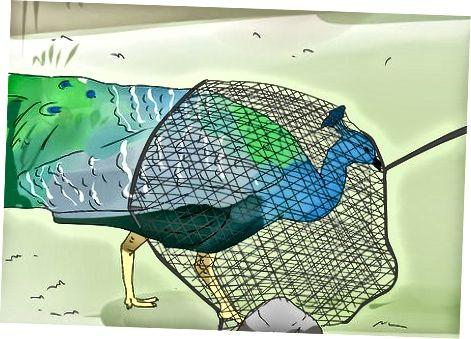 Attraper un paon avec un filet de pêche ou une couverture