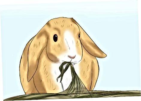 Distinguir entre un conejo adulto y un conejo anciano