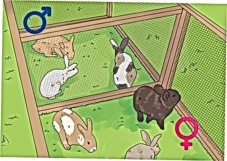Preparándose para examinar a sus conejos