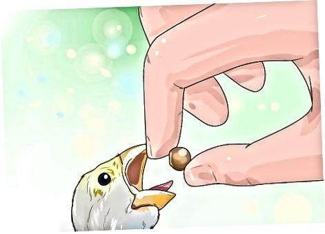 Wychowywanie młodych ptaków domowych