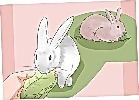 Tavşanı Beslemek