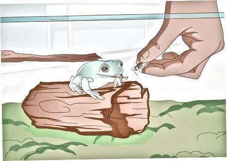 האכלה וטיפול בצפרדע העץ הלבן שלך