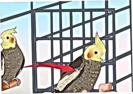 Împiedicarea Cockatiel-ului dvs. de a depune ouă