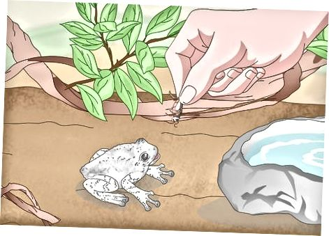 Alimentando a tu rana arbórea gris