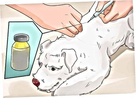 Trattare il diabete negli Schnauzer nano