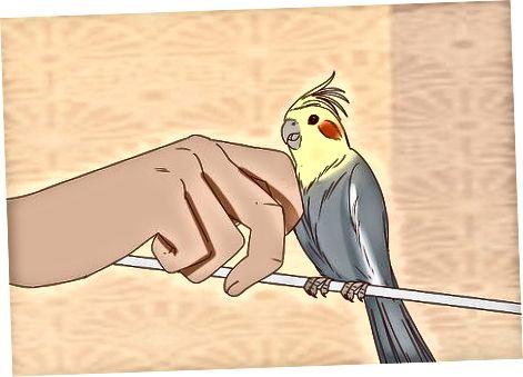 올바른 Cockatiel 선택