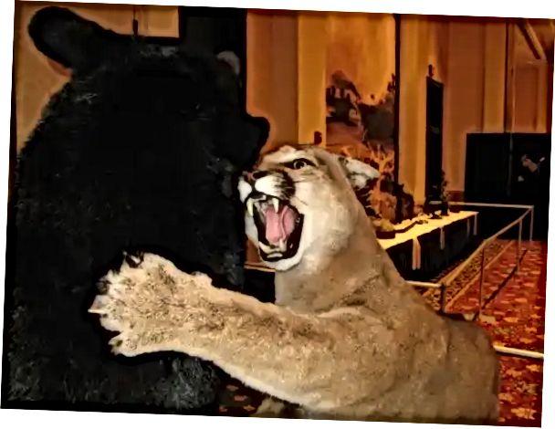 Ejercicio mañanero evidencia Lluvioso  oso negro vs puma | 2020
