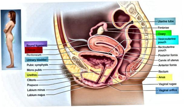 Usg Retroverted Vs Retroflexed Uterus 2020