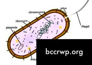 baktēriju diagramma