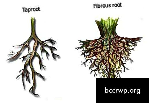 Taprooti ja kiulise juure erinevus
