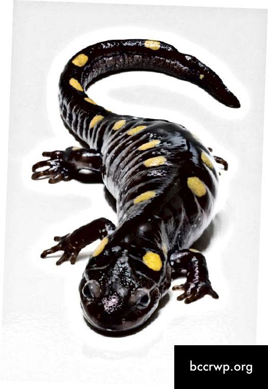 Diferència entre Newt i Salamander-1
