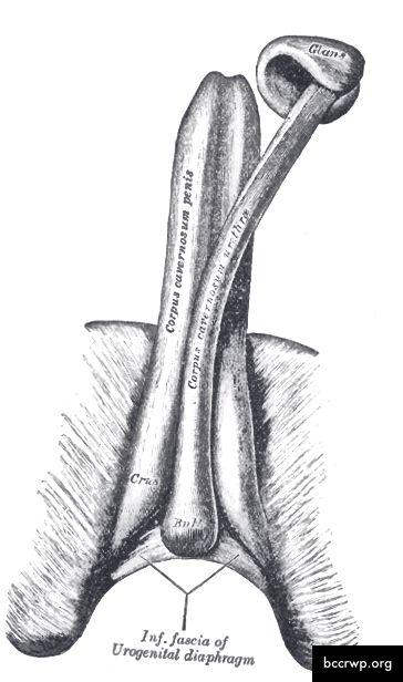 1915 এর মানব দেহের ধূসর এর অ্যানাটমি