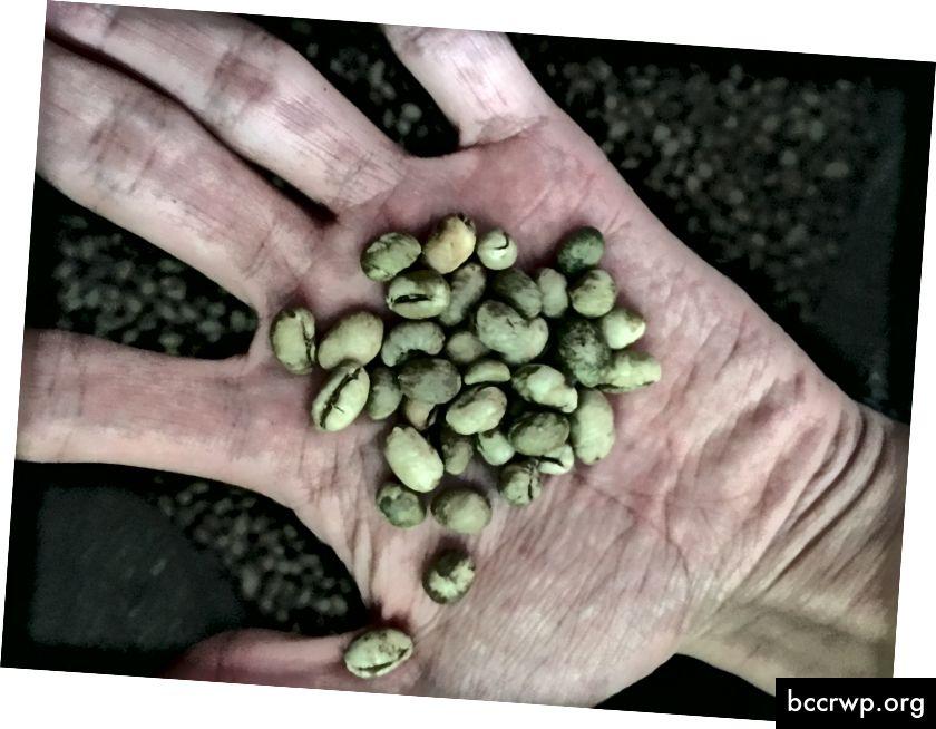 Ръката ми пълна с кафе зелени зърна © Thuan Sarzynski