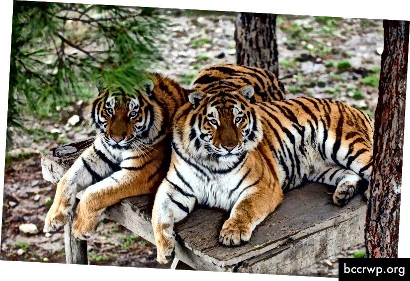 Репликиране в множество тигри