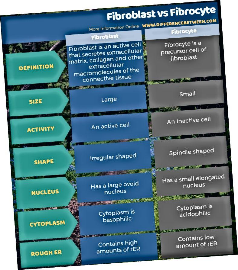 Разлика между фибробласт и фиброцит - таблична форма
