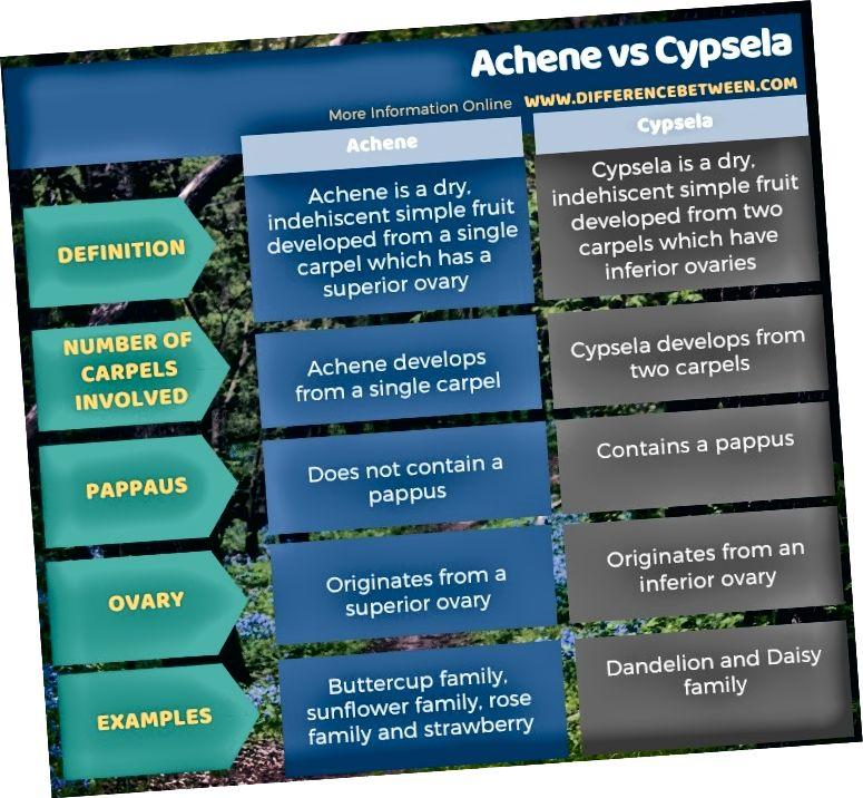 Разлика между Achene и Cypsela в таблична форма