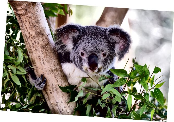Koala - fona izdzēšanas iespēja