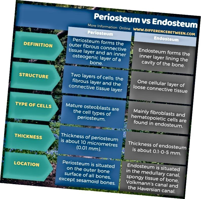 Mismunur á periosteum og endosteum í töfluformi
