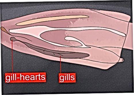 Ichki anatomiyani ajratish