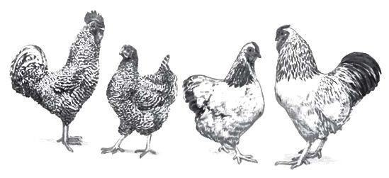 galinhas homesteading