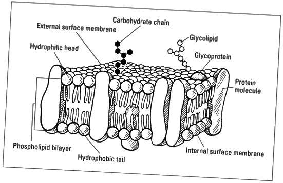 Течно-мозаечен модел на плазмените мембрани.