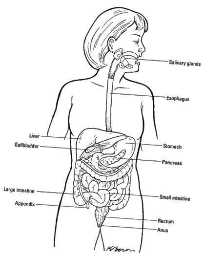 Храносмилателната система.