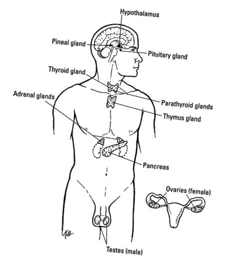 Ендокринната система.