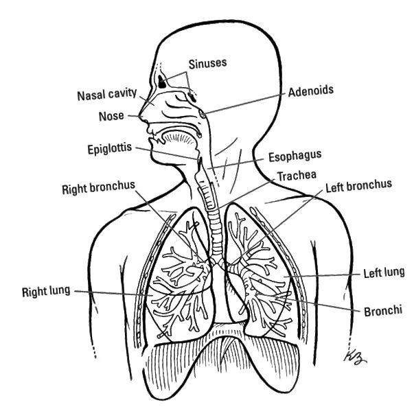 Дихателната система.