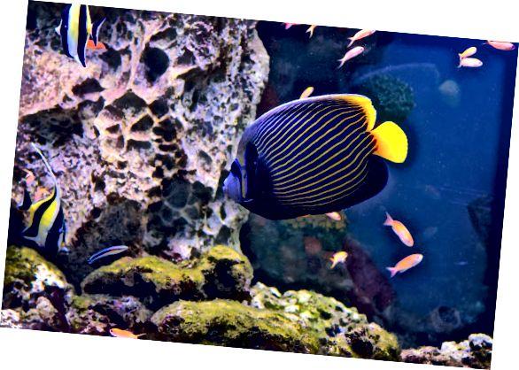 ferskvannsfisk