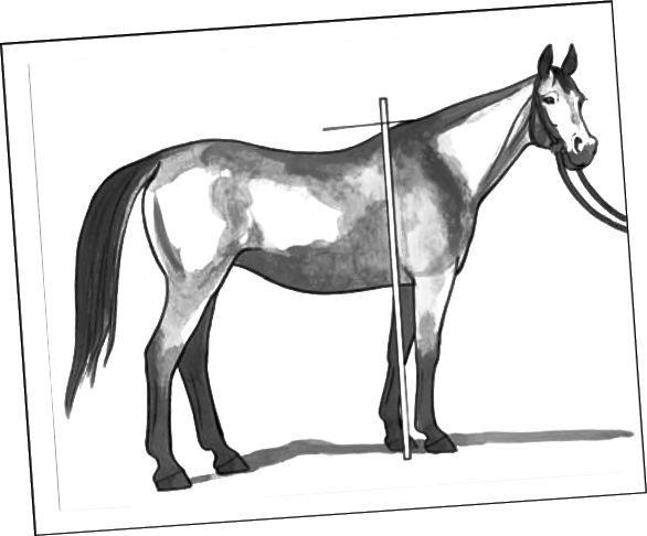 Måling af en hest
