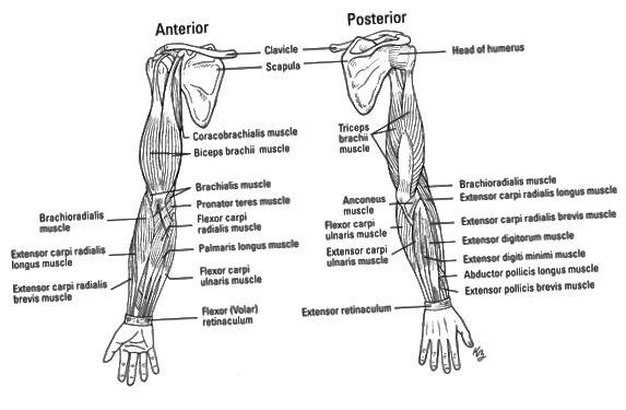 Musklerne i den øverste lem