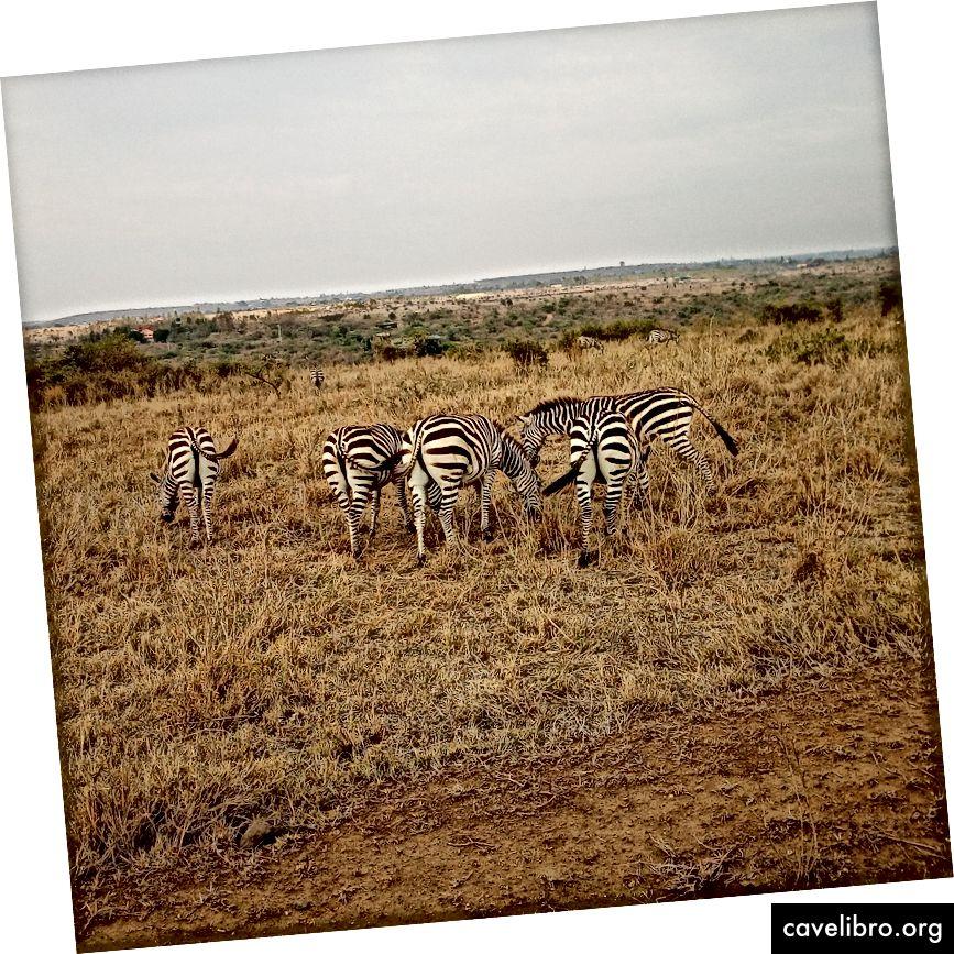 Voici les zèbres du parc national de Nairobi