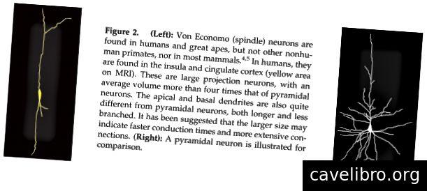 स्रोत: पूर्वकाल सिंगुलेट कोर्टेक्स से: एफ। स्टीवंस, आर। हर्ली और के। टेबर द्वारा अनुभूति और भावना (2011) में अद्वितीय भूमिका। यह न्यूरॉन हाथियों और डॉल्फ़िनों में भी पाया गया है।