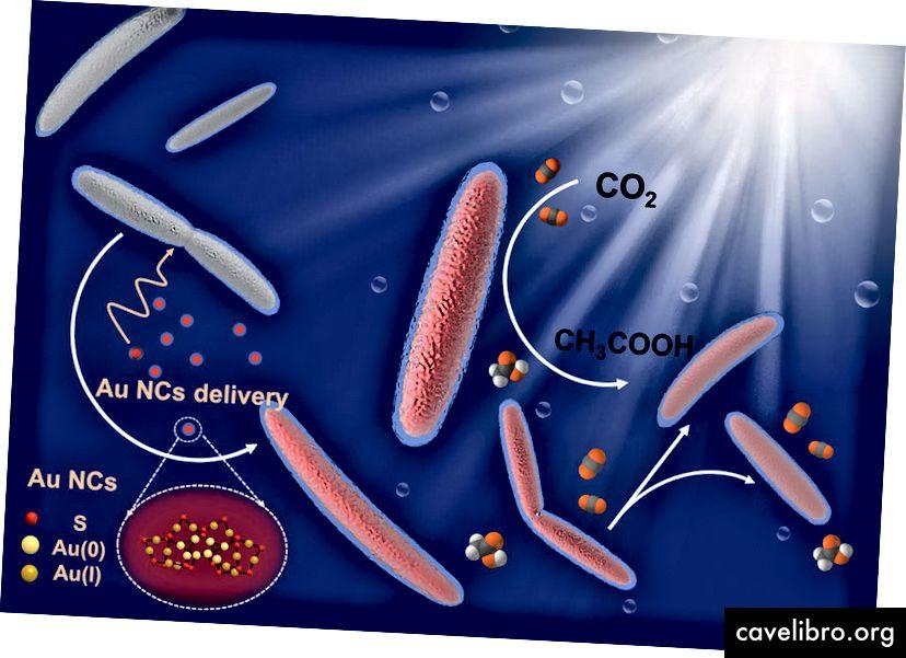 Les nanoclusters absorbant la lumière composés de 22 atomes d'or (Au22) sont suffisamment petits pour glisser à travers la paroi de la membrane bactérienne. Source de l'image: Berkeley College of Chemistry