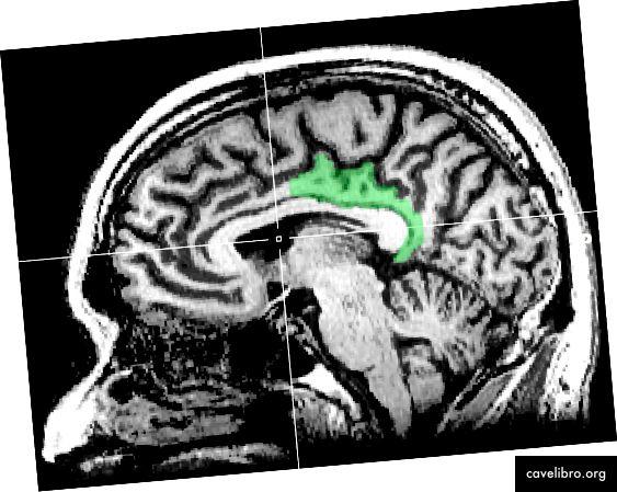 Cortex cingulaire postérieur (PCC) [Photo de Geoff B Hall]