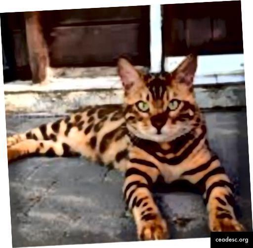 Las imágenes prototípicas de gatos pueden incluir vistas comunes de gatos (sentados, de pie o acostados) y coloraciones comunes.