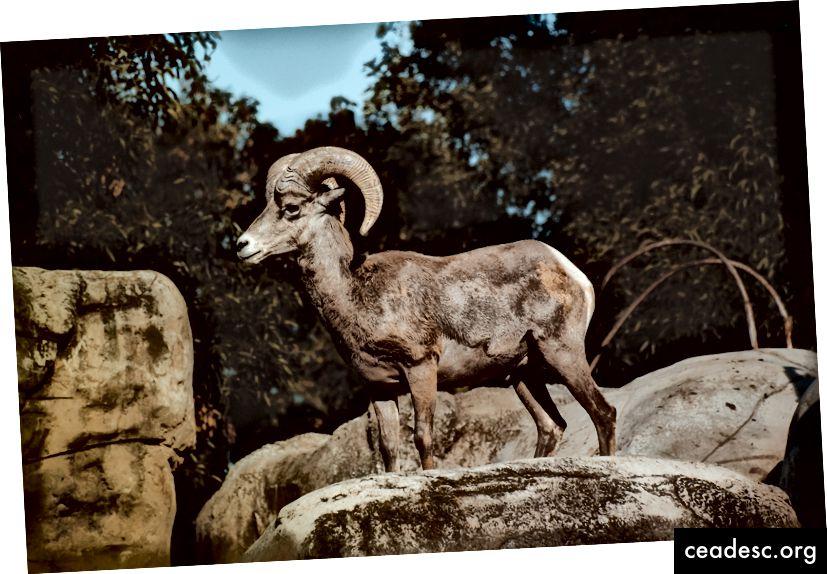 Una cabra sobre la manada