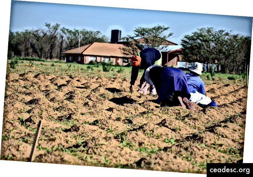 Poljoprivrednici koji koriste zai rupe u Južnoj Africi. Slika: Brandon Lingbeek