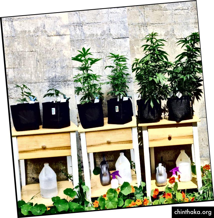 [Von links nach rechts: Ende April, Mitte Mai, Anfang Juni; Meine orangen Kapuzinerkressen sind auch ziemlich gewachsen.]